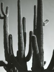Cactus, Saguaros, Arizona, 1964 by Brett Weston