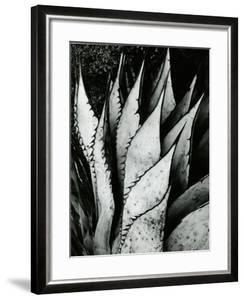 Century Plant, 1968 by Brett Weston