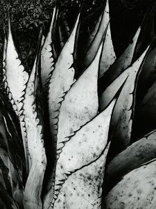 Century Plant, 1968 by Brett Weston
