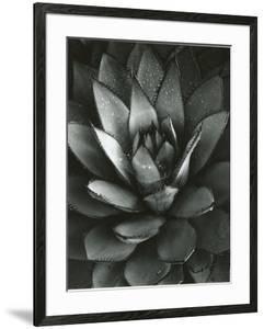 Century Plant, Baja California, 1968 by Brett Weston