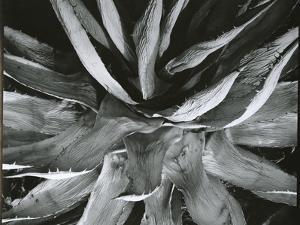 Century Plant, c. 1960 by Brett Weston