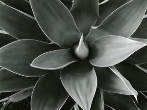 Century Plant, c. 1980 by Brett Weston