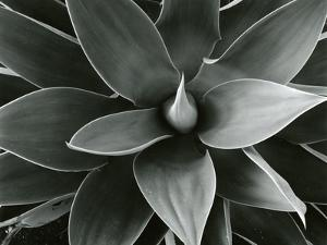 Century Plant, c. 1980 by Brett Weston