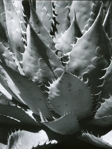 Century Plant, Succulent, Baja California, c. 1965 by Brett Weston