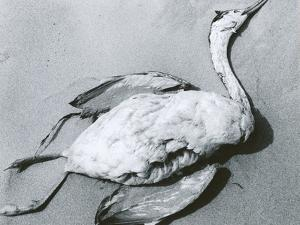 Dead Bird and Sand, 1967 by Brett Weston