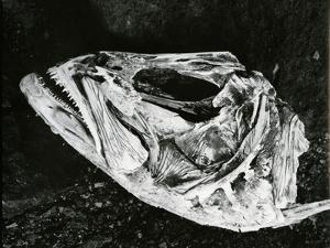 Dead Fish, Bones, Sand, c. 1965 by Brett Weston