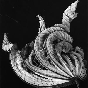 Dead Leaf, Hawaii, 1982 by Brett Weston