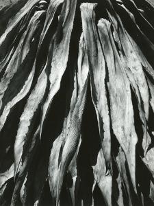 Dead Succulent, Baja, California, 1964 by Brett Weston