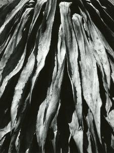 Dead Succulent, Baja, California, 1967 by Brett Weston