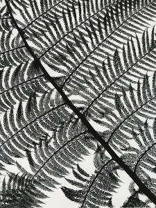 Fern, California, c.1955 by Brett Weston