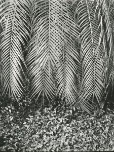 Fern, Small Leaves, Bronx Botanical Garden, New York, 1945 by Brett Weston