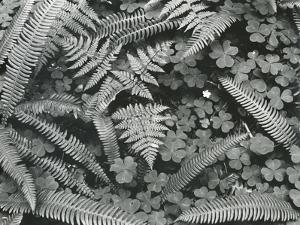 Ferns and Clovers, c. 1945 by Brett Weston