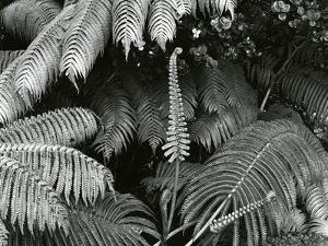 Ferns, Hawaii, 1980 by Brett Weston