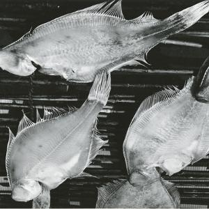 Fish, Japan, 1970 by Brett Weston