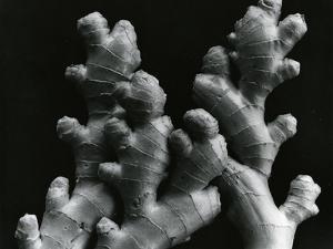 Ginger Root, c. 1985 by Brett Weston