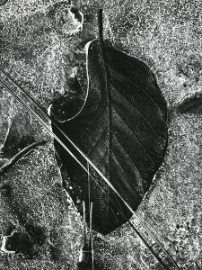 Ice and Leaf, Yosemite, California, 1972 by Brett Weston