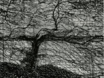 Ivy and Wall, New York, c. 1945 by Brett Weston