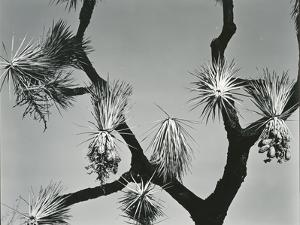 Joshua Tree, California, 1942 by Brett Weston