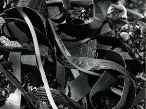 Kelp and Pebbles, 1974 by Brett Weston