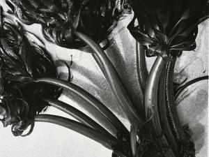 Kelp, c. 1965 by Brett Weston