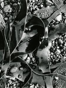 Kelp, Point Lobos, 1973 by Brett Weston