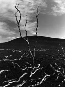 Lava and Tree, Hawaii, c. 1980 by Brett Weston