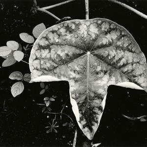 Leaf and Rain Drops, Hawaii, 1979 by Brett Weston