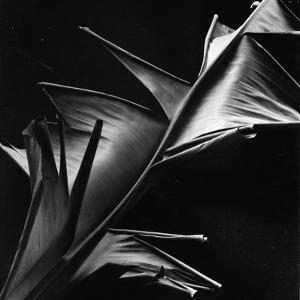 Leaf, Hawaii, c. 1980 by Brett Weston