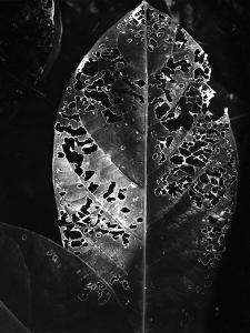 Leaf, Hawaii, c. 1985 by Brett Weston