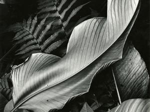Leafs and Ferns, Hawaii, 1979 by Brett Weston