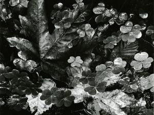 Leaves and Clover, Oregon, 1977 by Brett Weston
