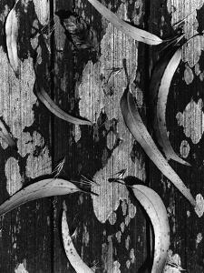 Leaves and Wood, c. 1950 by Brett Weston