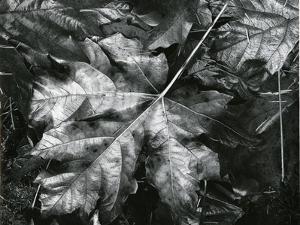Leaves, c. 1970 by Brett Weston