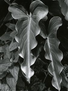 Leaves, Hawaii, c.1985 by Brett Weston