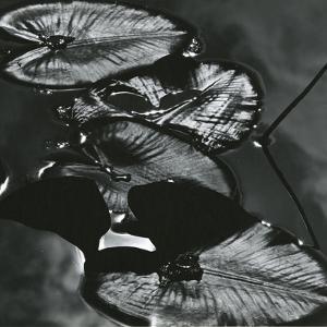 Lily Leaves, Alaska, 1977 by Brett Weston