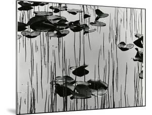 Lily Leaves and Reeds, Alaska, 1977 by Brett Weston