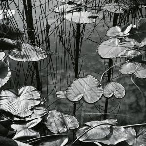Lily Pads and Water, 1973 by Brett Weston