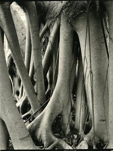 Mangrove Roots, Florida, 1947 by Brett Weston