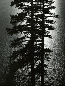 Oregon Pines, 1967 by Brett Weston