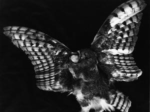 Owl, Hawaii, 1982 by Brett Weston