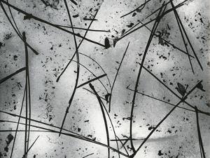 Pine Needles, Oregon, 1972 by Brett Weston