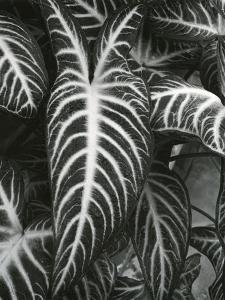 Plants and Leaves, c. 1985 by Brett Weston