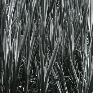 Plants, Hawaii, c.1985 by Brett Weston