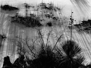 Plants, White Sands, New Mexico, 1946 by Brett Weston