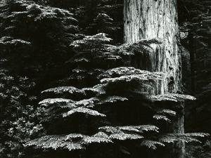 Redwood, California, 1964 by Brett Weston