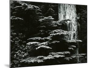 Redwood, California, 1964 by Brett Weston