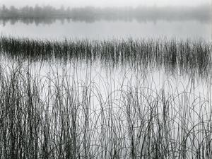 Reeds and Fog, Michigan, 1957 by Brett Weston