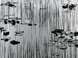 Reeds and Lily Pads, Alaska, 1977 by Brett Weston