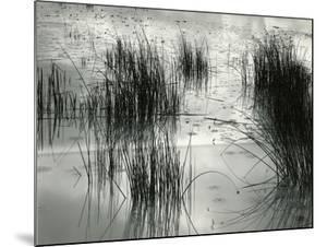 Reeds, France, 1960 by Brett Weston