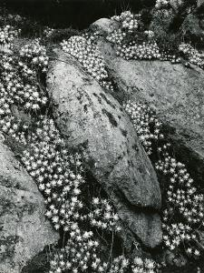 Rock and Botanicals, California, 1955 by Brett Weston